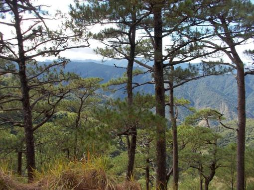 """""""Tapulao"""" Is The Local Dialect Translation For Pine Trees"""